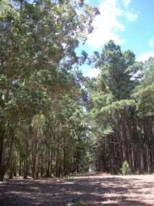Eucalyptis on the left and pine on the right in plantations.