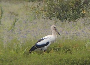 Birds like this Maguari stork find good habitat in ponded areas on the Pampas.
