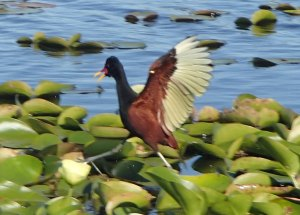 A Jacana dancing on its' ballroom floor.