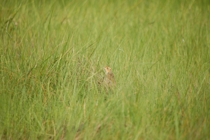 A typical saltmarsh sparrow sighting. Photo credit Matt Jones.