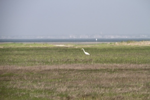 A great egret in an expanse of Monomoy marsh.