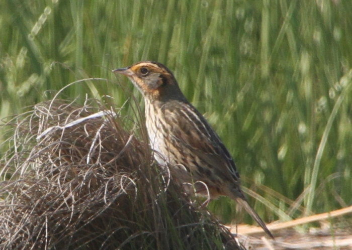 A Saltmarsh Sharp-tailed Sparrow