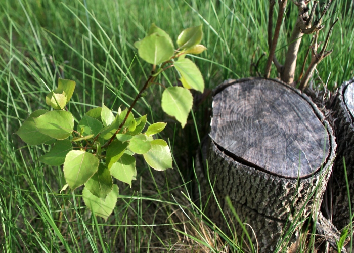The new beginning for a Trembling Aspen tree, cut a month before.