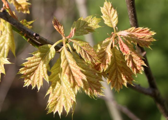 """Newborn"" oak leaves."