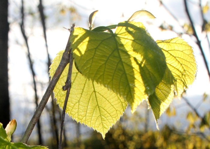 Basswood leaves, just remembering their color in the sun.