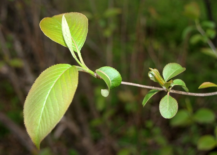 The serrated edges of new Nannyberry leaves seem like they could cut a tomato.