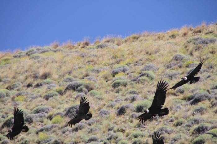 Condors entering the spiritual realm!