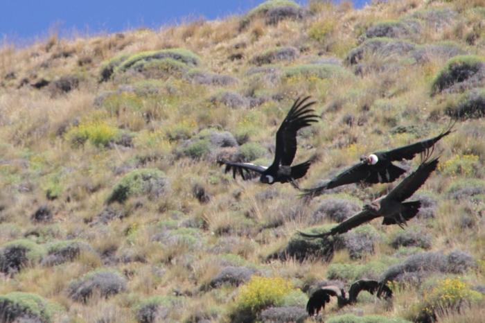 condors 4 taking off