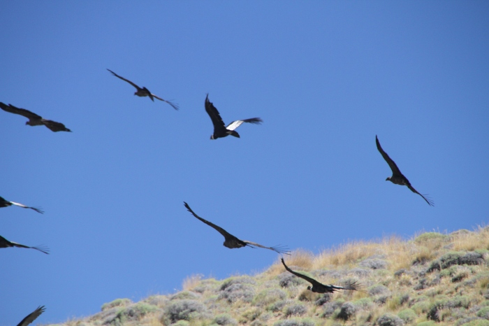 So many condors in one frame...it's ridiculous!