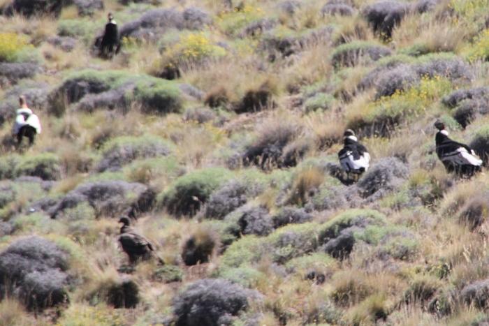 condors on ground 2