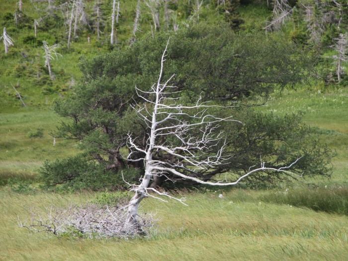 conifer skeleton