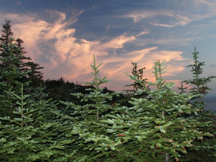 fir and sky