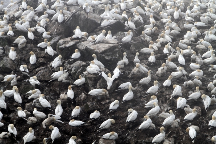 The Northern Gannet colony at Cape St. Mary's, Newfoundland.