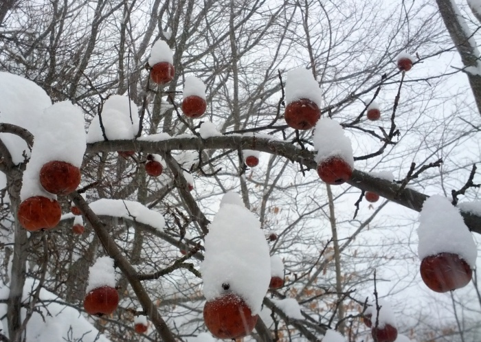 winter-apples-snow-maine